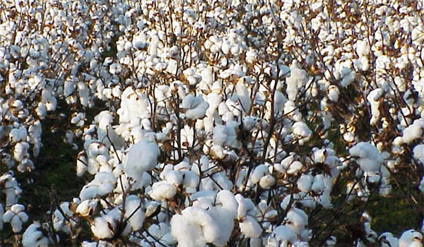 Pakistani Cotton